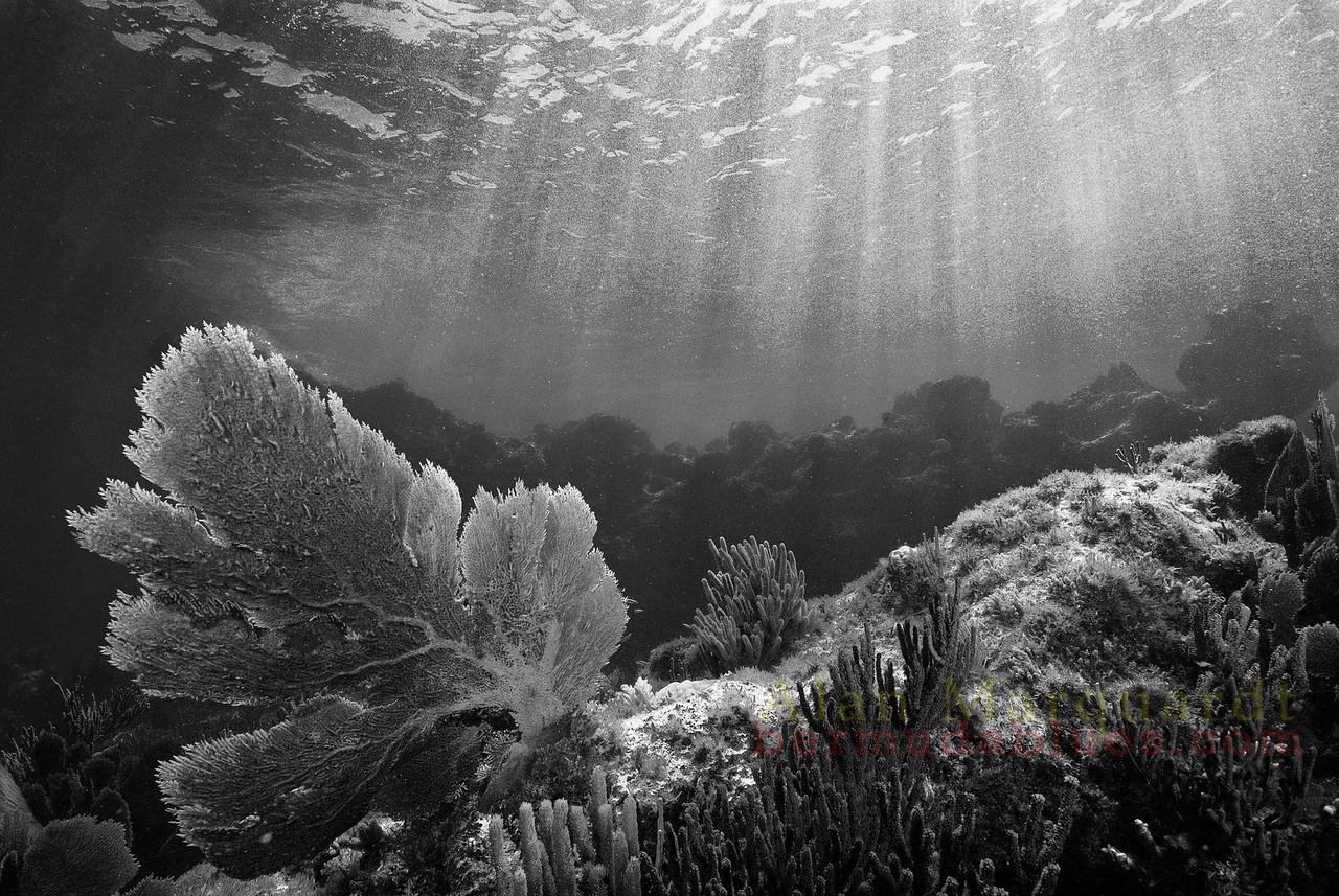 Sea fan. South west breaker. Bermuda.