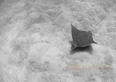 Eagle Ray. Bermuda. 2006.   Printed on canvas, 48 X 36 inches. Limited to 7 prints.  $1600.00 unstreched.