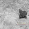 Eagle Ray. Bermuda. 2006.   Printed on canvas, 48 X 36 inches.<br /> Limited to 7 prints.  $1600.00 unstreched.