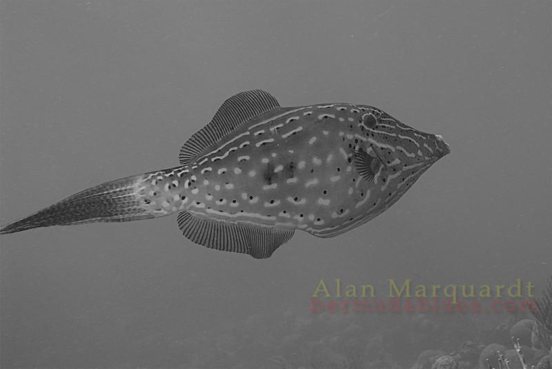 Scrawled filefish. Bermuda