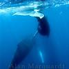 Humpback whales,  Challenger banks, Bermuda.