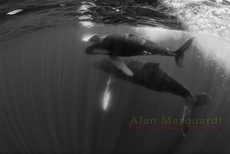 Humpback whales B+W1,  Challenger banks, Bermuda.