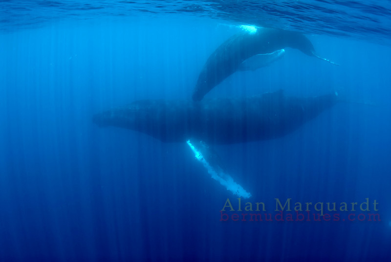 Mother and calf 3,  Challenger banks, Bermuda.