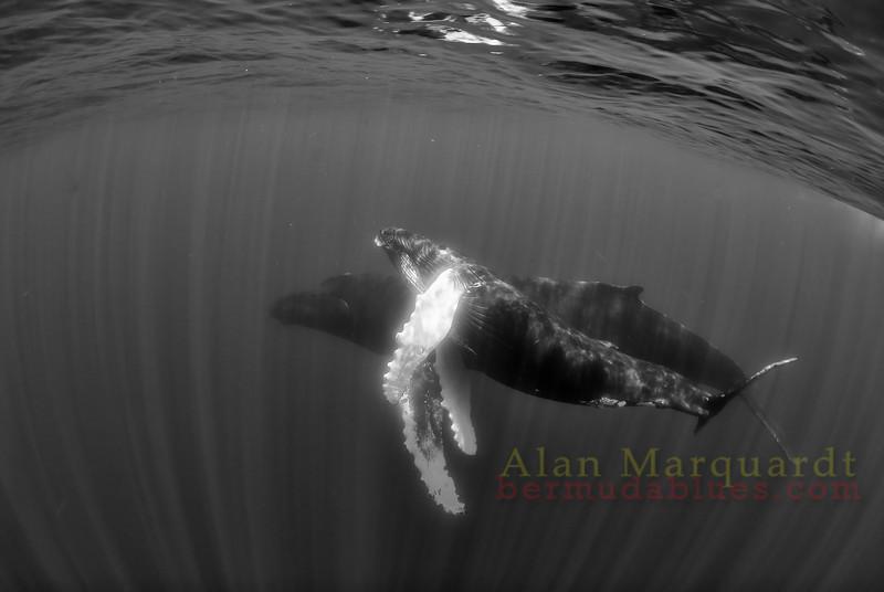 Humpback whales B+W 2,  Challenger banks, Bermuda.