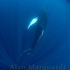 Humpback whale,  Challenger banks, Bermuda.