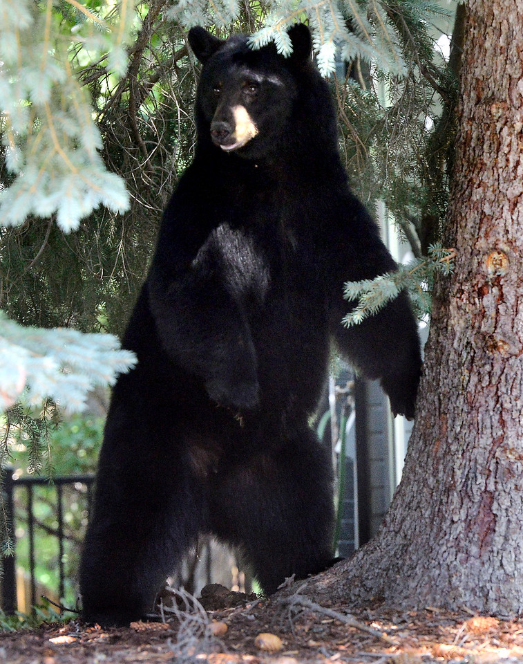 BOULDER BEAR