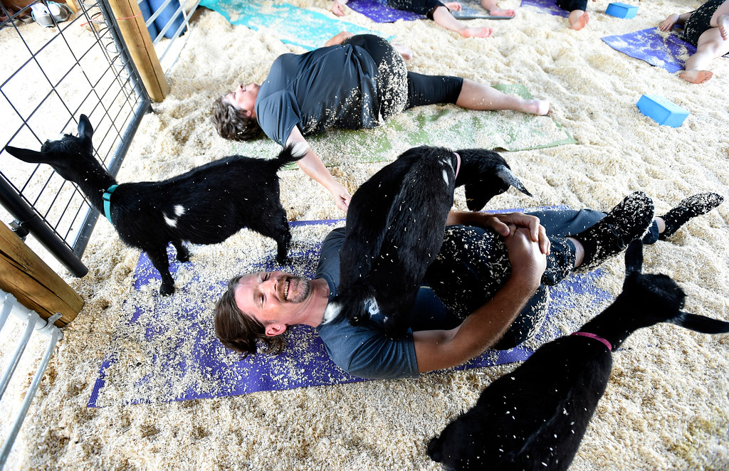 . Marty Pietruszka smiles as a goat climbs on him during a goat yoga class on Wednesday, June 28, at the The Mother Ranch in Longmont. For more photos of the goat yoga class go to www.timescall.com Jeremy Papasso/ Staff Photographer/ June 28, 2017