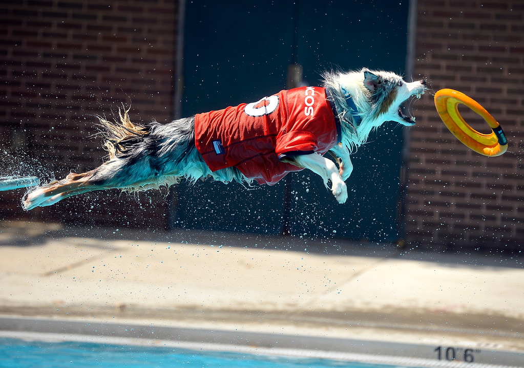 . Socks launches off the diving board while attempting to catch his frisbee during Dog Dayz at Scott Carpenter Pool on Monday in Boulder. For more photos and video of Dog Dayz go to dailycamera.com Jeremy Papasso/ Staff Photographer 9/11/2017