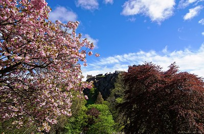 Edinburgh castle, cherry blossoms