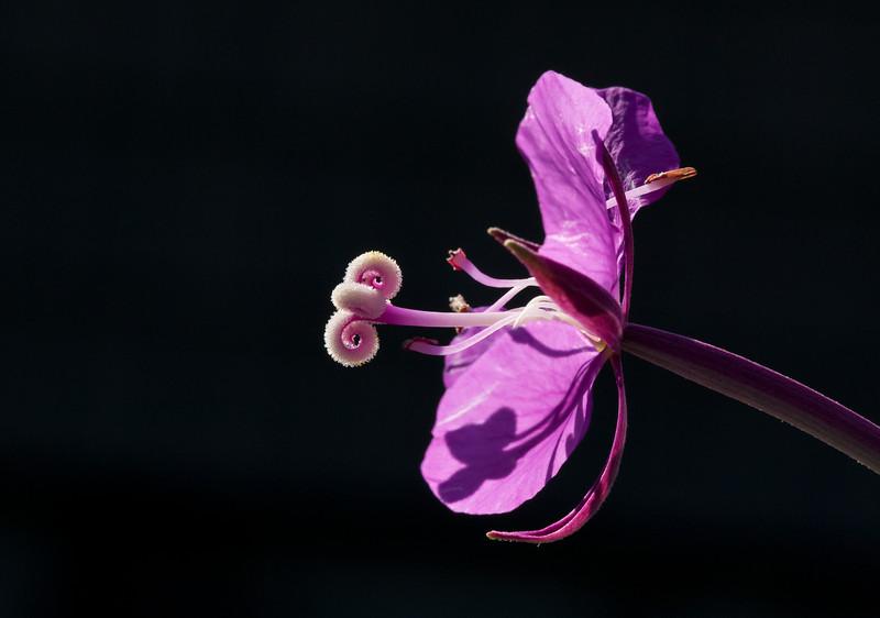 Fireweed (Chamerion angustifolium).