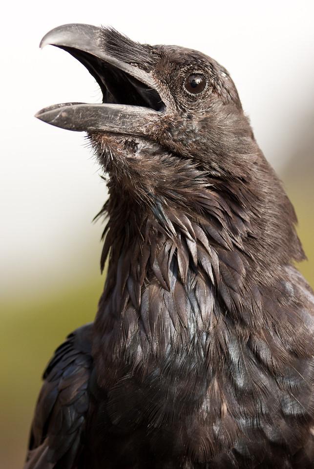 Canary Island Raven (Corvus corax tingitanus).