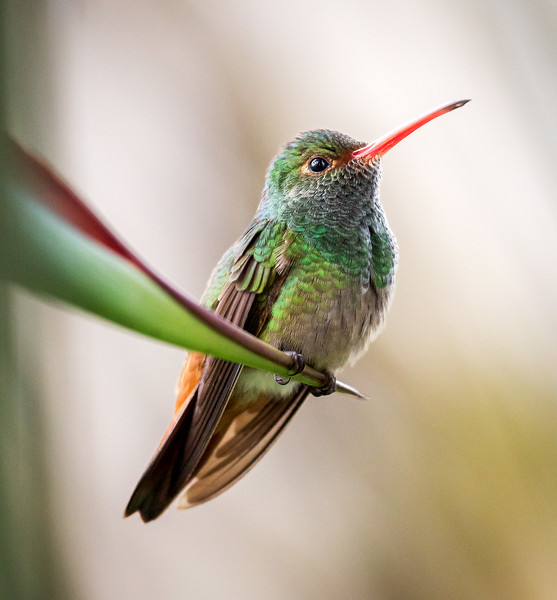 Rufous-tailed Hummingbird (Amazilia tzacatl).