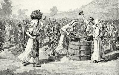 Berba grozdja u Hercegovini
