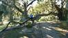 BEAUTY & THE THE OAK TREE!