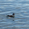Harlequin duck at the docks of Port Angeles