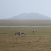 Caribou grazing off the Dalton highway