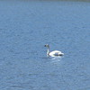 Trumpeter Swan, Dalton highway