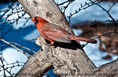 Red Bird in Central Park-2-