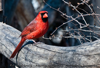 Red Cardinal in Central Park