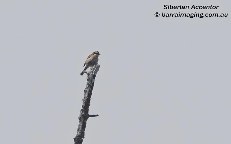 Siberian Accentor