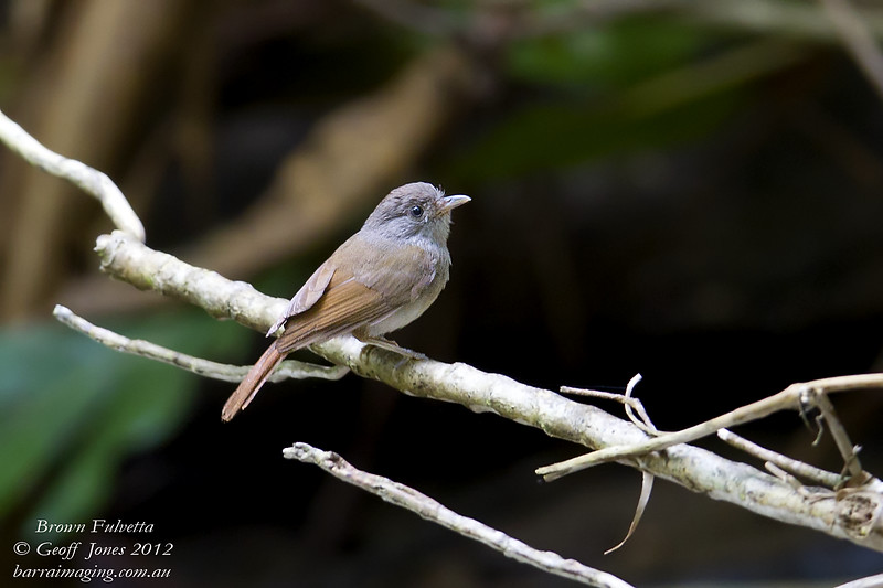Brown Fulvetta Alcippe brunneicauda Hala-Bala Thailand May 2012 TH-BRFU-01