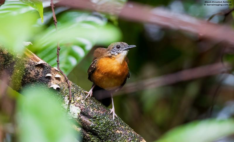 Black-throated Antbird female