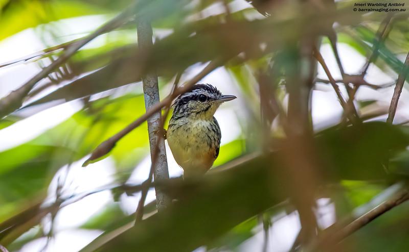 Imeri Warbling Antbird male