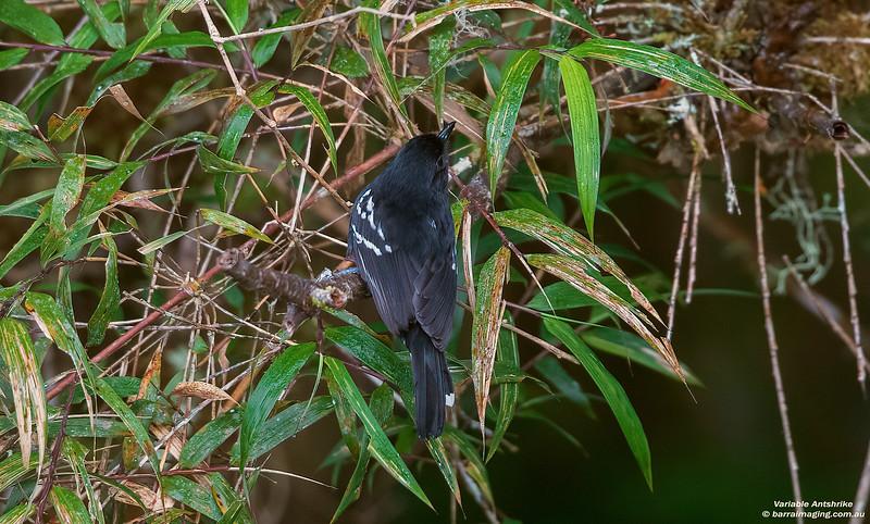 Variable Antshrike male