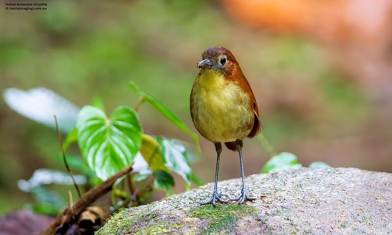 Yellow-breasted Antpitta