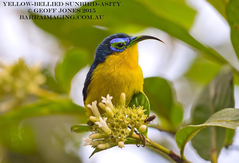 Yellow-bellied Sunbird-Asity