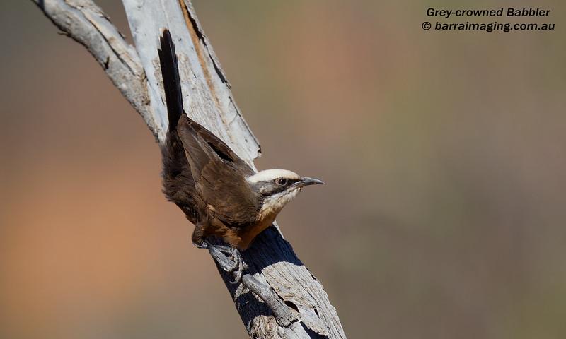 Grey-crowned Babbler juvenile