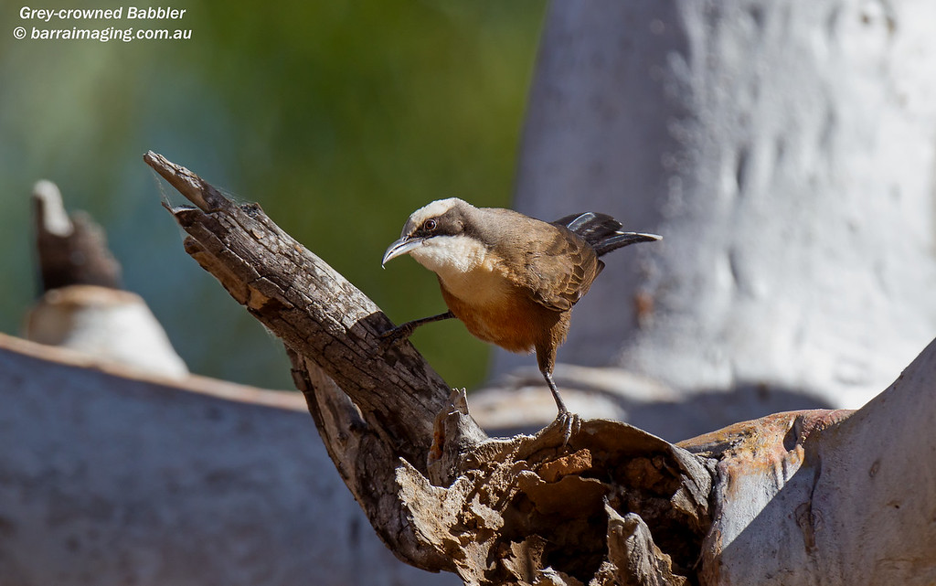 Grey-crowned Babbler immature