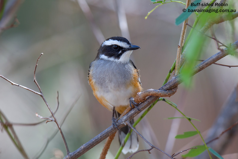 Buff-sided Robin
