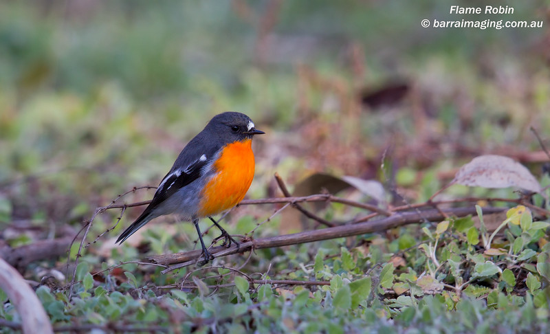 Flame Robin male