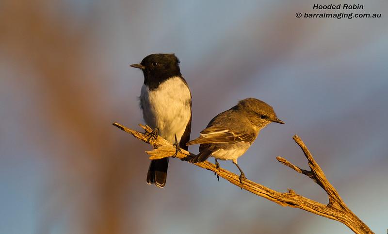 Hooded Robin male & female