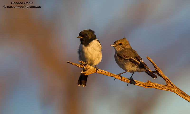Hooded Robin male & female