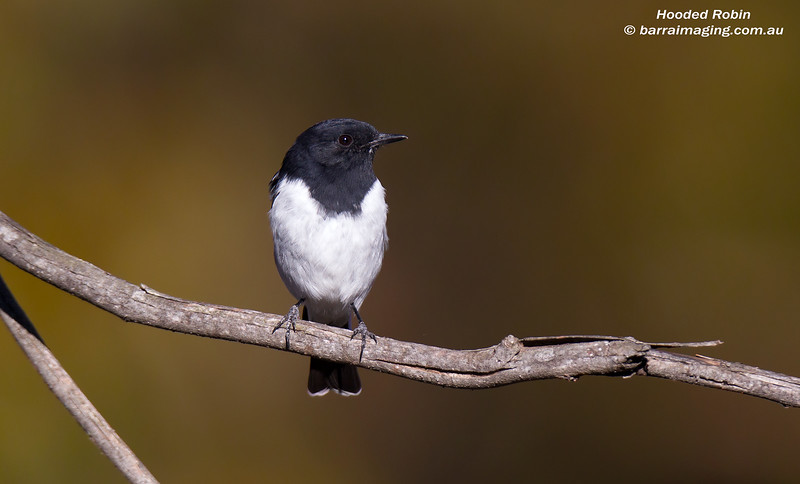 Hooded Robin male
