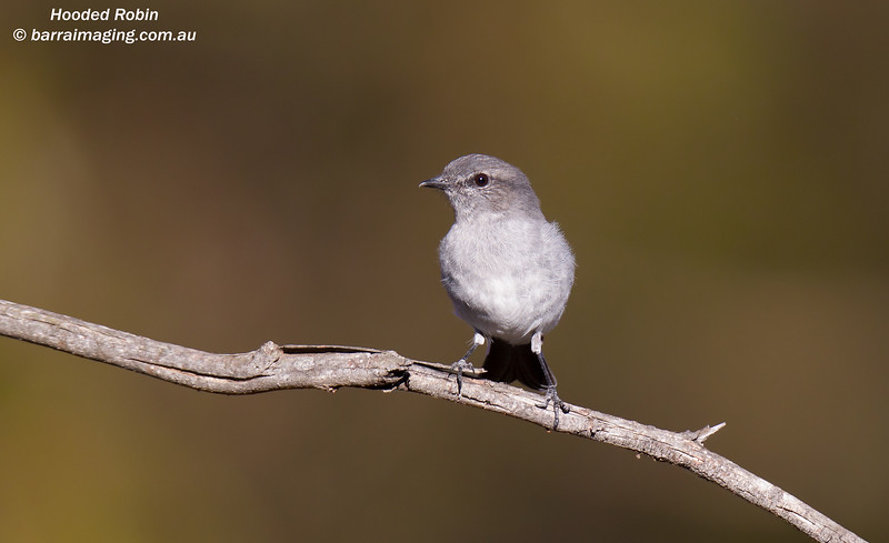 Hooded Robin female