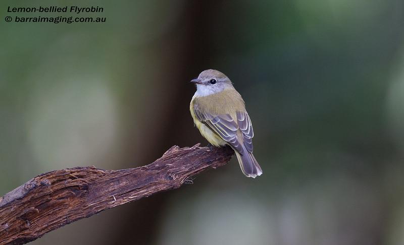 Lemon-bellied Flyrobin