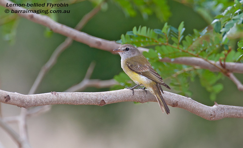 Lemon-bellied Flyrobin