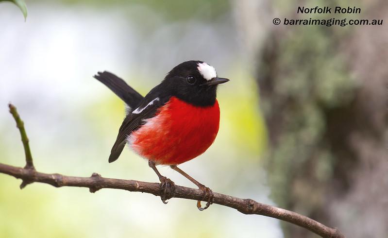 Norfolk Robin male