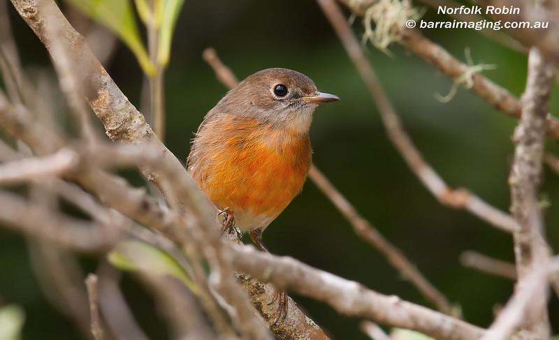 Norfolk Robin female