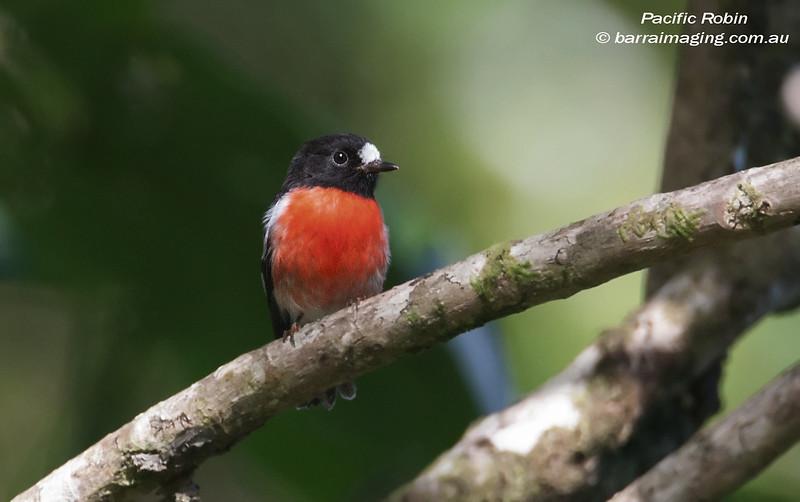Pacific Robin male