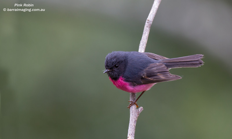 Pink Robin immature male