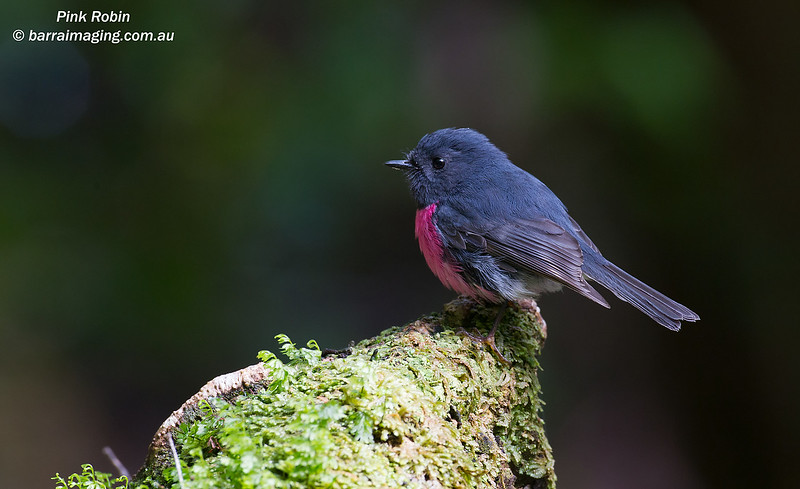 Pink Robin male