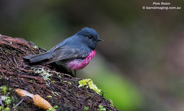 Pink Robin male