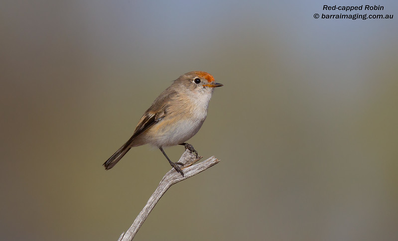 Red-capped Robin female