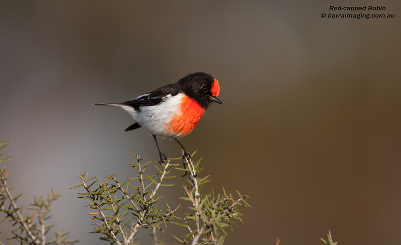 Red-capped Robin male
