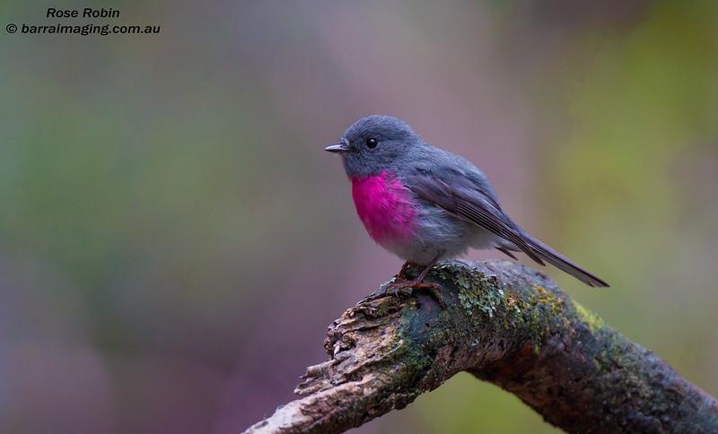 Rose Robin male