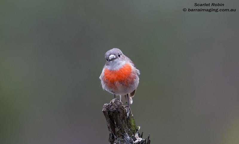 Scarlet Robin female